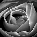 Red Rose In Infrared by Charles Muhle