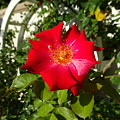 Red Rose In Summer by Camryn Zee Photography