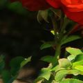 Red Rose by Linda Shafer