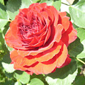 Red Rose by Lisa Roy