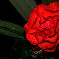 Red Rose by Luminita Zamfir