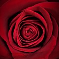 Red Rose by Marianna Mills