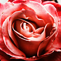 Red Rose  by Mariola Bitner
