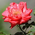 Red Rose On A Bush by Robert Hamm