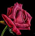 Red Rose On Black by Sarah Batalka