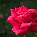 Red Rose Profile by Robert VanDerWal