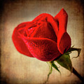 Red Rose Romance by Garry Gay