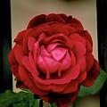Red Rose  V2 by John Straton