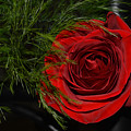 Red Rose With Garnish And Black Velvet by Reva Steenbergen