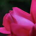 Red Rosebud Raindrops by Smilin Eyes  Treasures