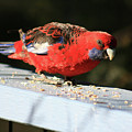 Red Rosella by Douglas Barnard