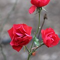 Red Roses by Francesco Gonnella