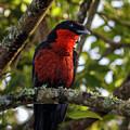 Red Ruff Fruitcrow Otun Quimbaya Pereira Colombia by Adam Rainoff