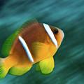 Red Sea Clownfish  by Hagai Nativ