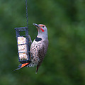 Red-shafted Northern Flicker On Suet by Sharon Talson