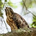 Red Shoulder Hawk by John Ruggeri