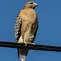 Red-shoulder Hawk by Ronnie Prcin