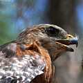 Red Shouldered Hawk - Profile by Barbara Bowen