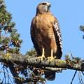 Red Shouldered Hawk by Cassandra Geernaert