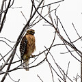 Red-shouldered Hawk by Donald Nelson