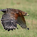 Red-shouldered Hawk Flight by Myrna Bradshaw