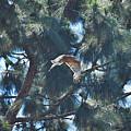 Red Shouldered Hawk Flying Away 1 by Linda Brody