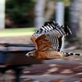 Red-shouldered Hawk Flying By by Christy Pooschke