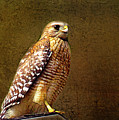 Red-shouldered Hawk by Judi Bagwell