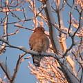 Red-shouldered Hawk by Kristen Anderson