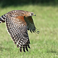 Red-shouldered Hawk by Mike Fitzgerald