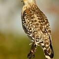 Red-shouldered Hawk by Myrna Bradshaw