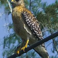 Red Shouldered Hawk by NaturesPix