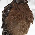 Red Shouldered Hawk Portrait by Emma England