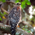 Red-shouldered Hawk by Rich Leighton
