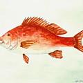 Red Snapper by Miroslaw  Chelchowski