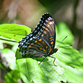 Red-spotted Purple 4172 by Michael Peychich