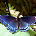 Red-spotted Purple 4257 by Michael Peychich