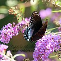 Red Spotted Purple Admiral Limenitis Arthemis 8816 by Captain Debbie Ritter