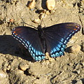 Red Spotted Purple Astyanax by Joshua Bales
