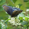 Red-spotted Purple Butterfly On Privet Flowers by Robert E Alter Reflections of Infinity