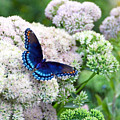 Red Spotted Purple Butterfly On Sedum by Catherine Sherman