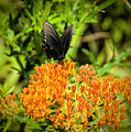Red Spotted Purple Butterfly by Phyllis Taylor
