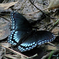Red Spotted Purple Swallowtail Butterfly by Donna Brown