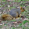 Fox Squirrel 2 by James Seitzinger