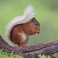 Red Squirrel Curved Log by Peter Walkden