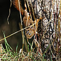 Red Squirrel Descending by Sue Harper