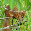 Red Squirrel In The Cherry Tree by Valerie Ornstein