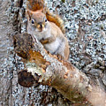 Red Squirrel Maine by Sheila Price