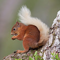 Red Squirrel On Tree by Peter Walkden