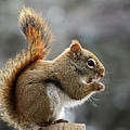 Red Squirrel On Wooden Fence II by Jeff Galbraith